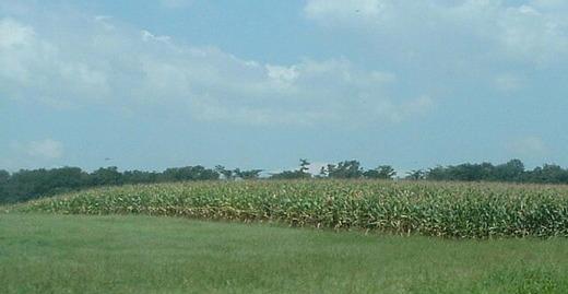 トウモロコシ畑.JPG